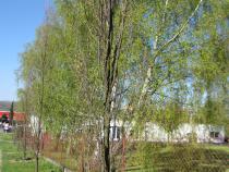 Přesazení vzrostlých stromů na městském hřbitově ve Valašském Meziříčí.