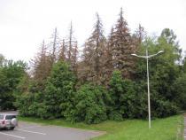 V městské zeleni byly zpracovány stromy zničené kůrovcem.