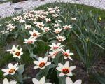Rozkvetlé tulipány